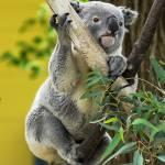 """Climbing Koala"" by StonePhotos"