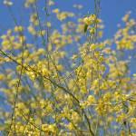 """Yellow Flower Tree"" by BridgetBphotography"