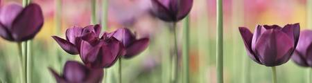 Purple TulipScape