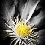 """Spring 2013 Clematis Flower"" by NCCreations"