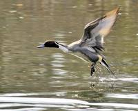 Northern Pintail Liftoff