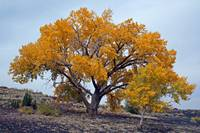Wupatki Golden Tree