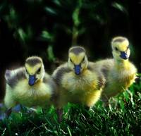Three Goslings