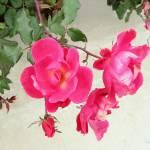 """Roses"" by patriciaschnepf"