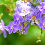 """Purple Flowers with Bee"" by TealWingPhotography"