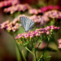 Summer Azure Butterfly on Yarrow-Square