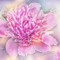 Pink Peony Art Prints & Posters by Barbara Zuzevich