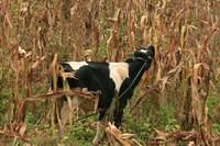 Holstein Bull in a Corn Field