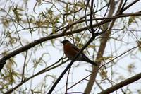 American Robin in a Tree in Spring