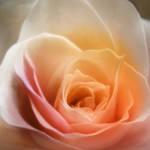 """Dream Rose"" by AnneVis"