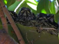 In The Nest American Robin Babies