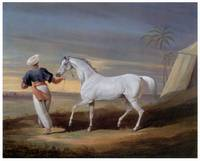 Signal, a Gray Arab, with a Groom in the Desert