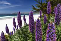 Blue Wildflowers on Carmel Beach