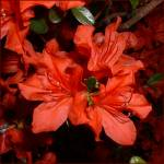 """Red Azaleas"" by lucesalegres"