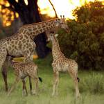 """Giraffe Family"" by MichaelPoliza"