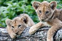 Lion Siblings