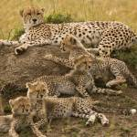 """Cheetah Family"" by MichaelPoliza"