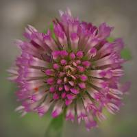 Blossoming Red Clover Flower