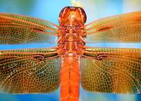 Flame skimmer dragonfly (Libellula saturata)