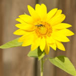 """Bee on Sunflower"" by ValeriesGallery"