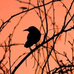 """Grackle at sunset"" by arizonawriter"