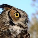 """Great-horned owl"" by arizonawriter"