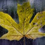 """Maple Leaf in the Morning Rain"" by boppintheblues"