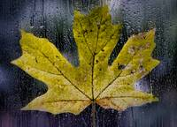 Maple Leaf in the Morning Rain