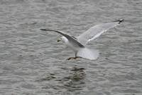 Herring Gull Landing on Water