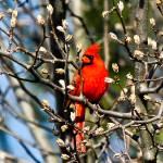 """Male Cardinal"" by pixelcene"