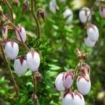 """""""Little White Bell Flowers"""" by vpicks"""