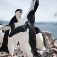 Chinstrap Penguin Mating Call Art Prints & Posters by Roaming Nomad Photography