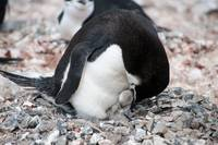 Chinstrap Penguin Feeding Chick