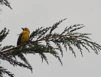 Golden Bellied Grosbeak