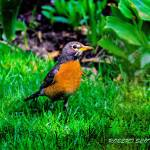 """American Robin"" by ROBERTSCOTTPHOTOGRAPHYY"
