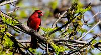 Mr Male Northern Cardinal