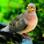 """Portrait of a Mourning Dove"" by ROBERTSCOTTPHOTOGRAPHYY"
