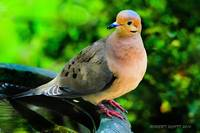 Portrait of a Mourning Dove