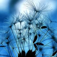 Dandelion Seed Abstract