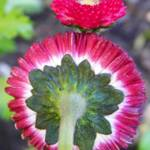 """English Daisy Monstrosa Corsican Bellis Red Bellis"" by vpicks"