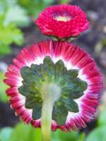 English Daisy Monstrosa Corsican Bellis Red Bellis