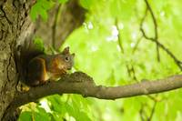 Squirrel in Tivoli Park