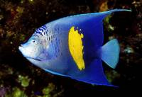 Arabian Angelfish
