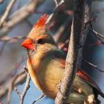 """Young Female Cardinal"" by pixelcene"