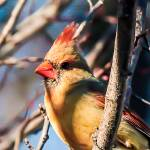 """""""Young Female Cardinal"""" by pixelcene"""