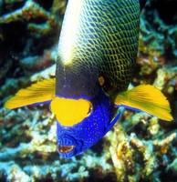 Maldives Angelfish Frontal