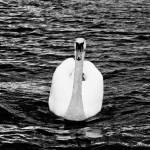 """""""White Swan"""" by datblastedboy"""