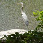 """Blue Heron"" by kalbert"