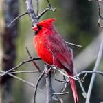 """Male Cardinal 2"" by pixelcene"