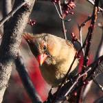 """""""Another Young Female Cardinal"""" by pixelcene"""